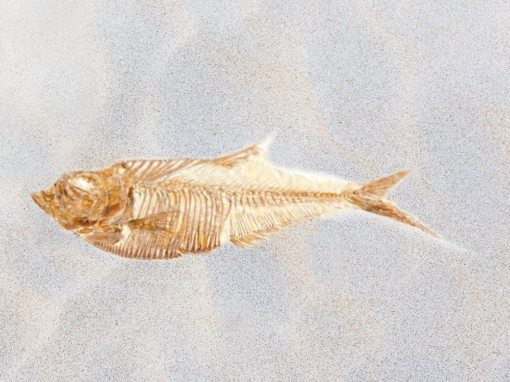 Diplomystus Dentatus