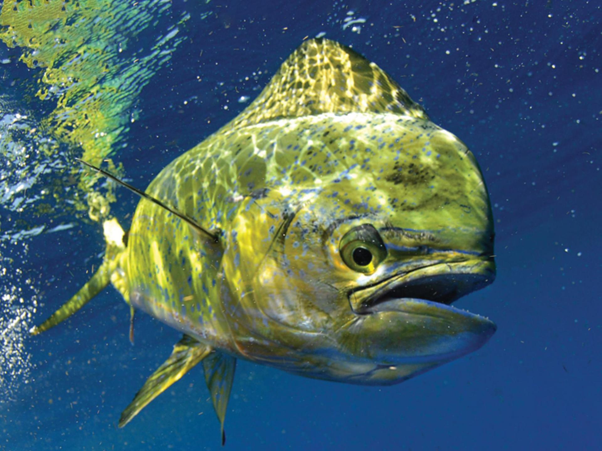 фото рыбы корифены готовой